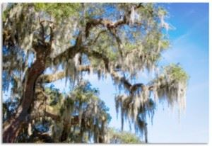 Tree covered with Spanish Moss